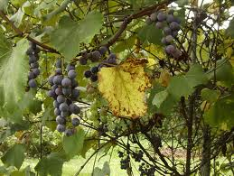 concordgrapes stock photo